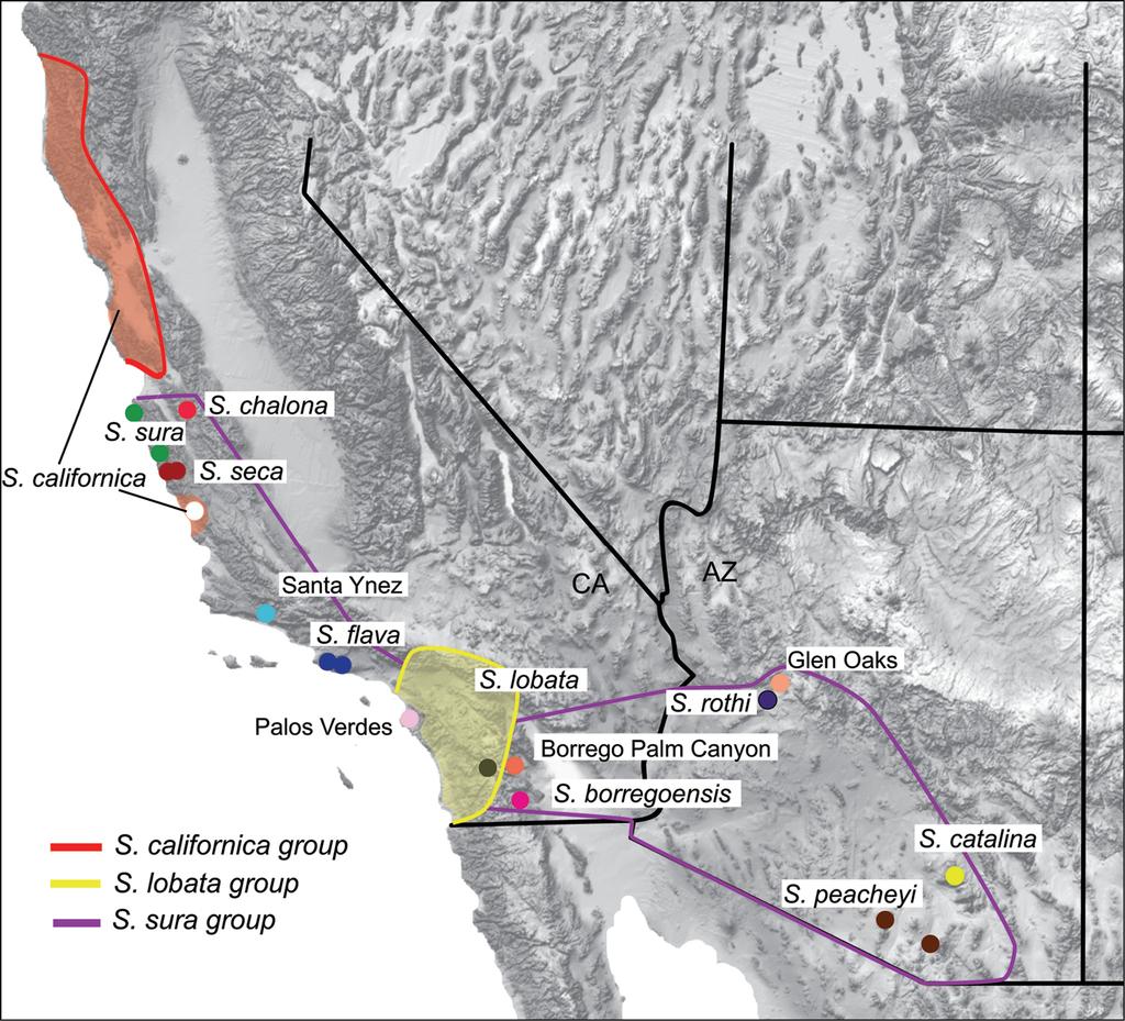 New species in the Sitalcina sura species group (Opiliones