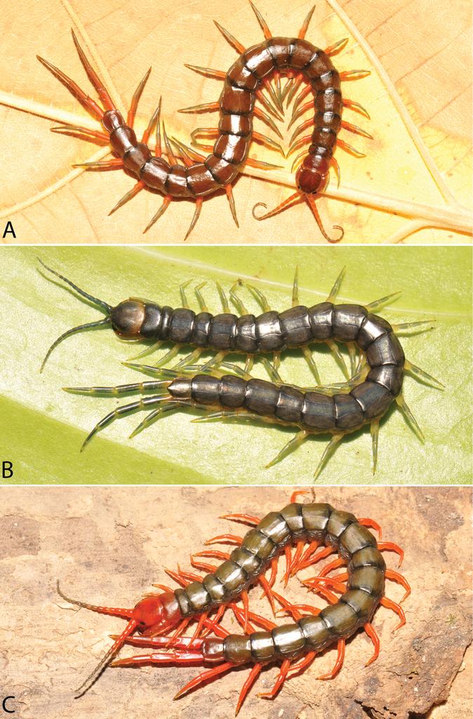 A taxonomic review of the centipede genus Scolopendra Linnaeus, 1758 ...