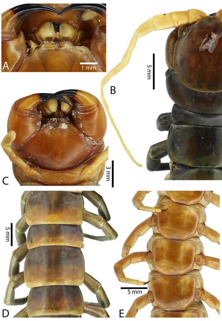A taxonomic review of the centipede genus Scolopendra Linnaeus, 1758