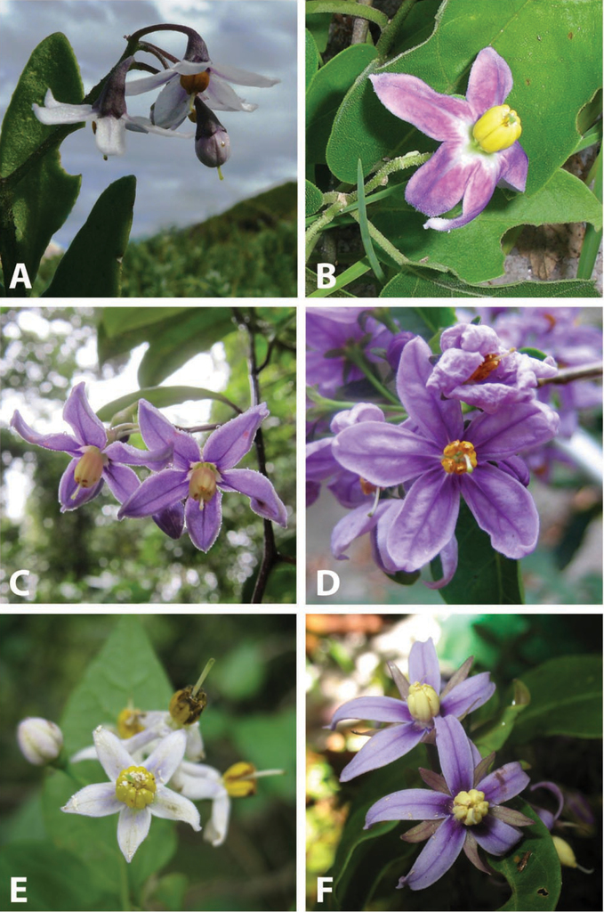 A revision of the african non spiny clade of solanum l solanum figure 1 fandeluxe Images