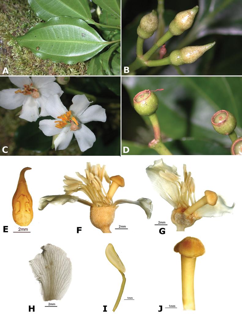 A Monograph of Conostegia (Melastomataceae, Miconieae)