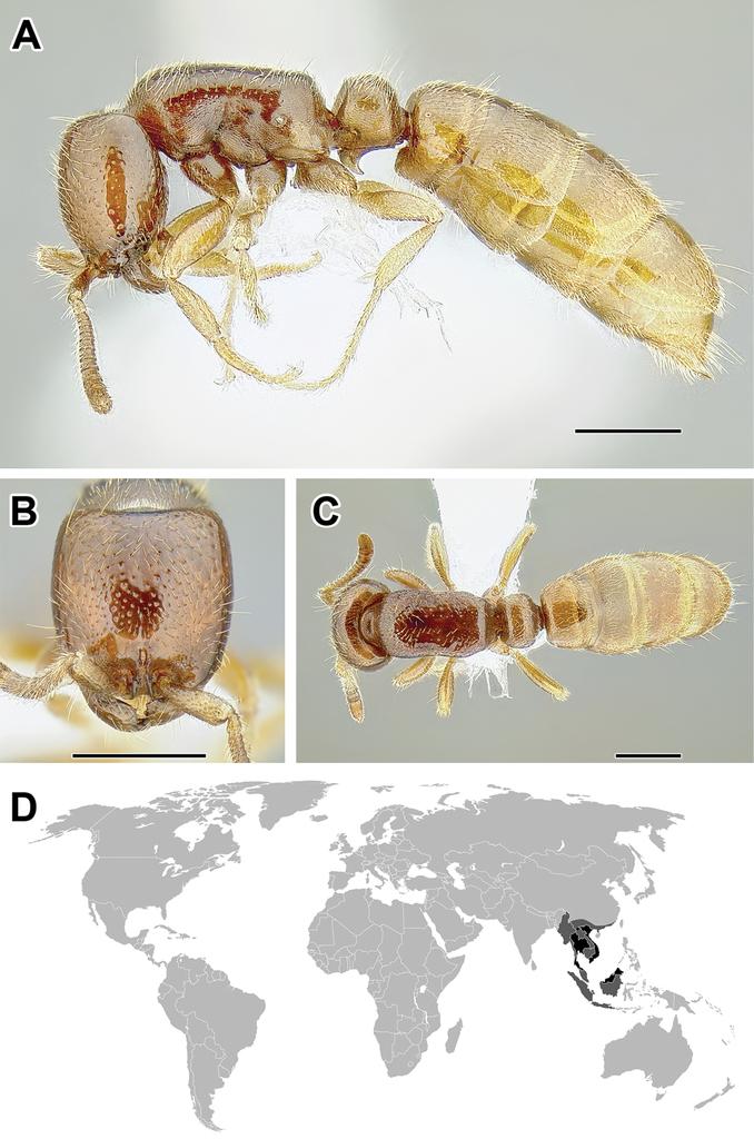 Generic revision of the ant subfamily Dorylinae (Hymenoptera ...