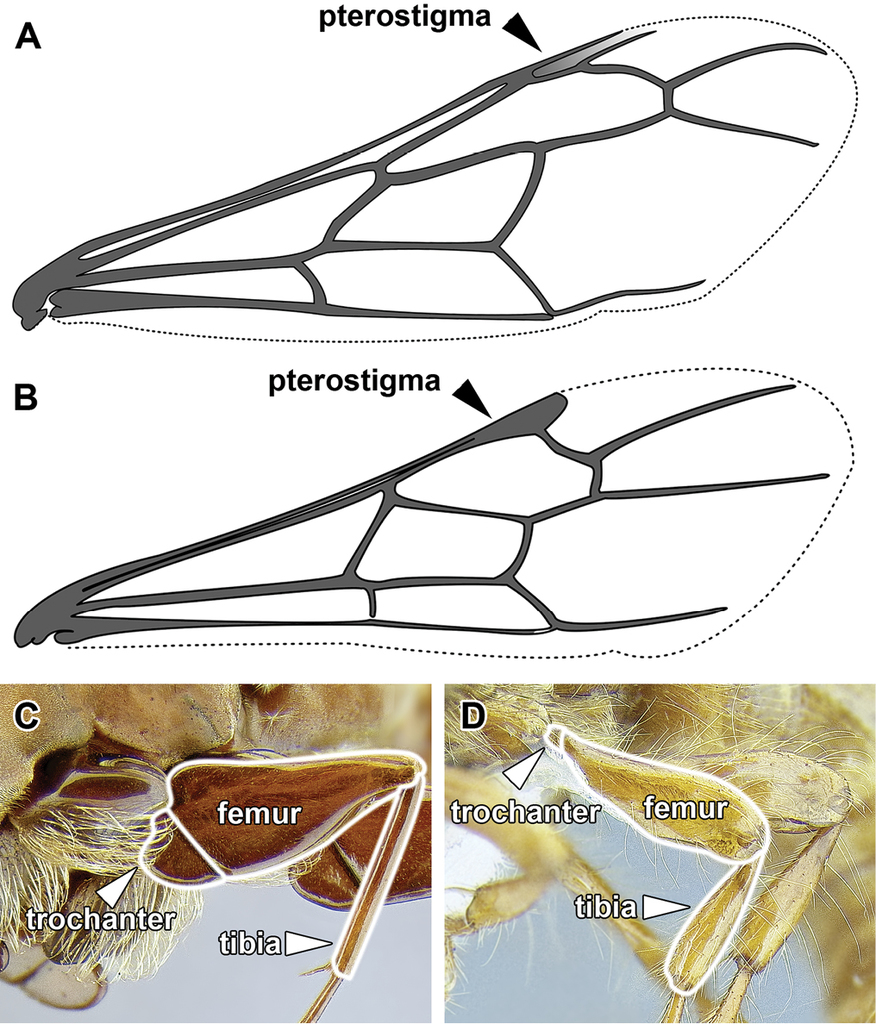 Generic Revision Of The Ant Subfamily Dorylinae Hymenoptera Back Gt Imgs For Snake Skeleton Diagram 10
