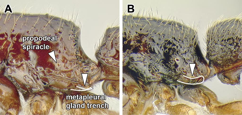 Generic revision of the ant subfamily Dorylinae (Hymenoptera