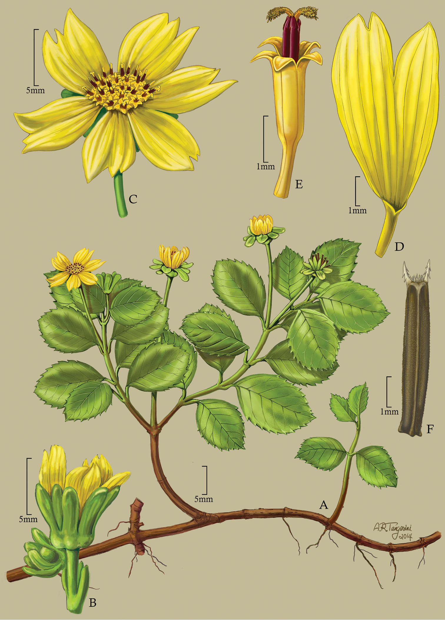 Revision of endemic marquesas islands bidens asteraceae coreopsideae figure 7 fandeluxe Images