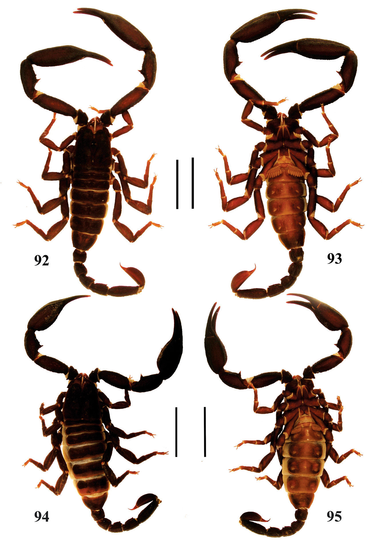 The scorpions of Yunnan (China): updated identification key, new ...