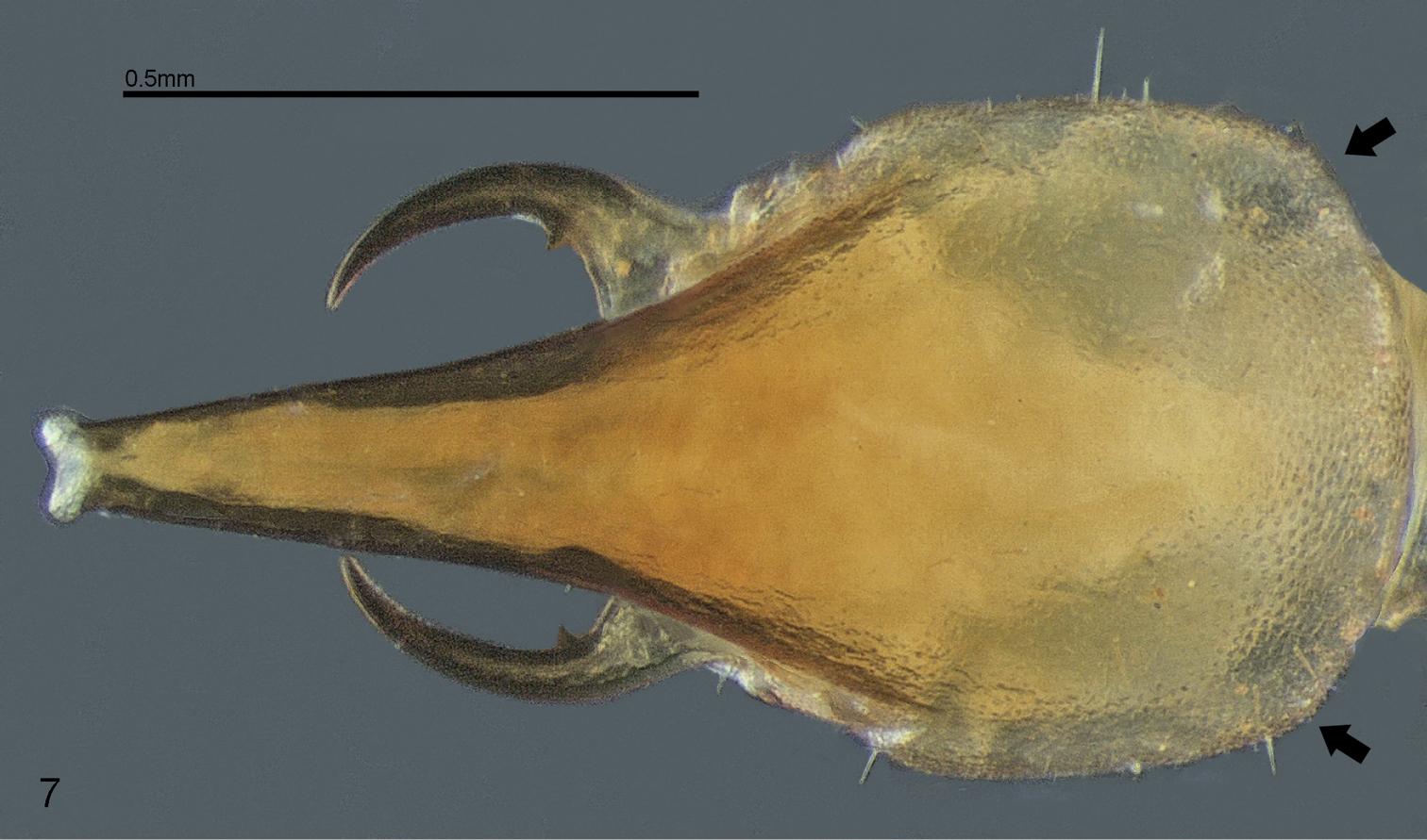 A new genus and species of mandibulate nasute termite (Isoptera ...