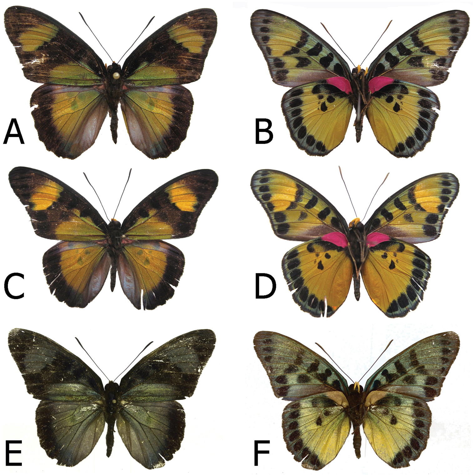 research papers on taxonpmy of butterflies Research papers foraging responses in the butterflies inachis io, aglais urticae butterfly-visited plants, and the green cotton gauze (absorption.