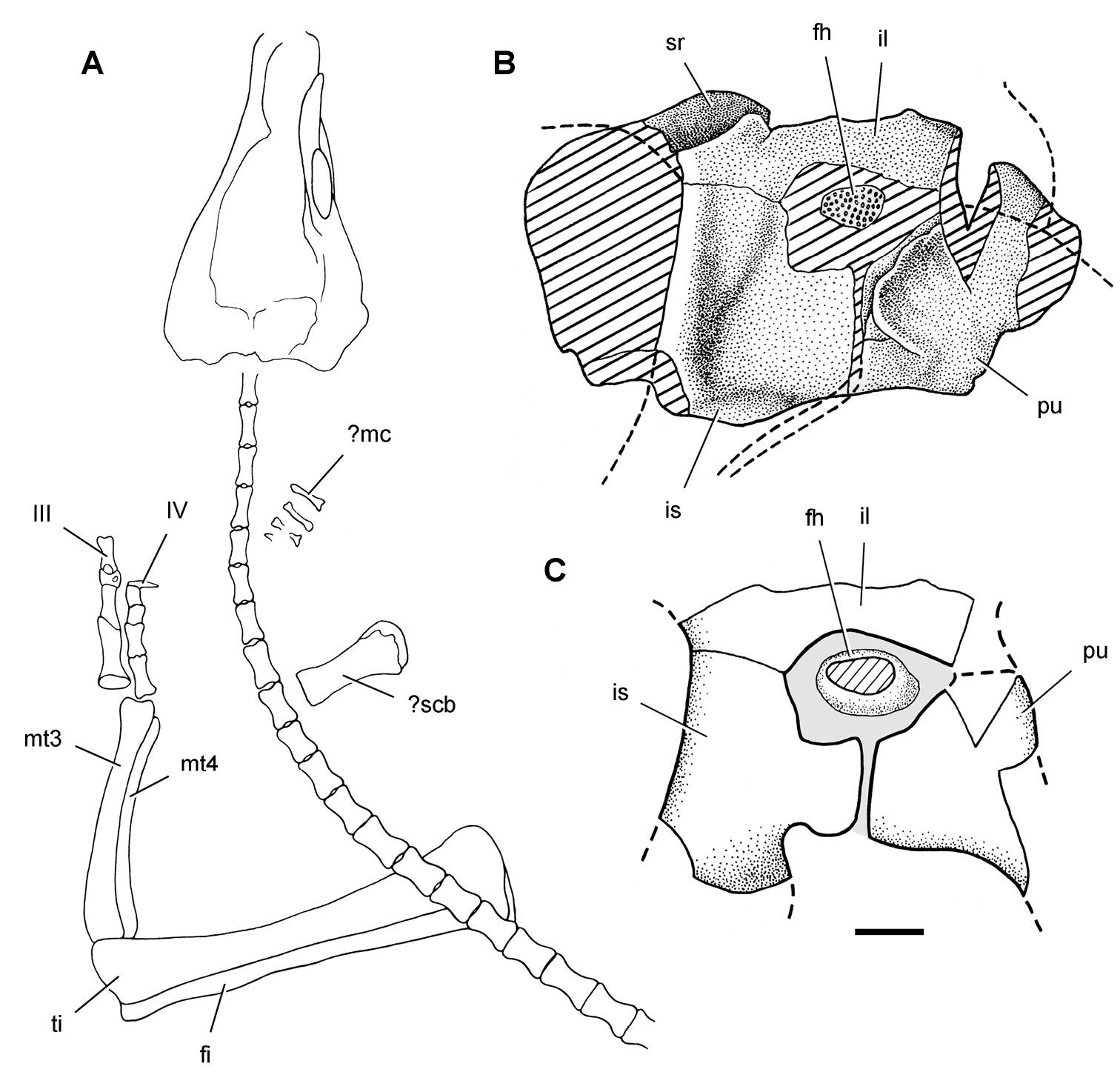 taxonomy morphology masticatory function and phylogeny of
