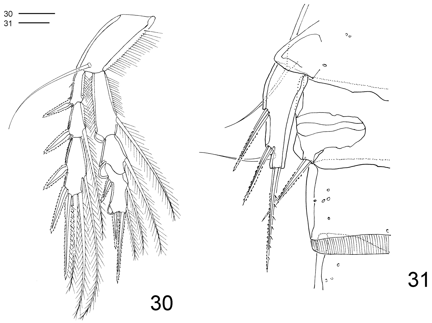 First Record Of Clausidium Copepoda Clausidiidae From Brazil A 1991 Pontiac 3 1l Engine Diagram New Species Associated With Ghost Shrimps Neocallichirus Grandimana Gibbes