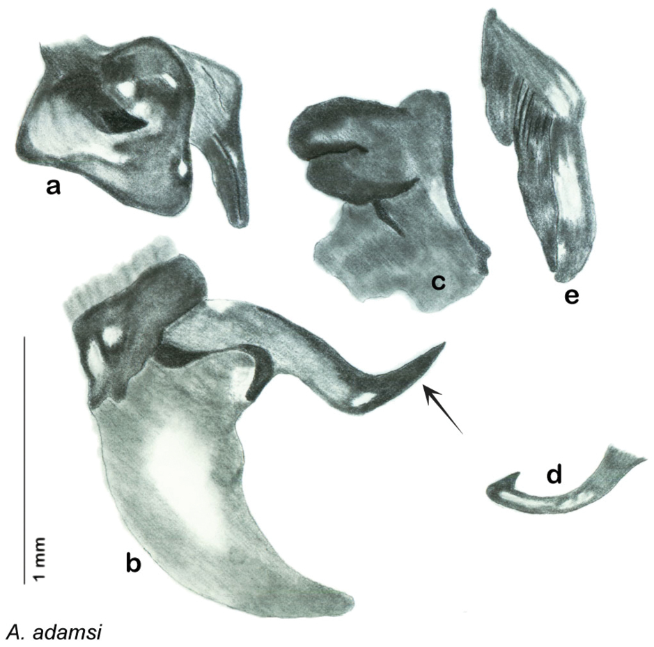 A revision of the genus Arenivaga (Rehn) (Blattodea, Corydiidae ...