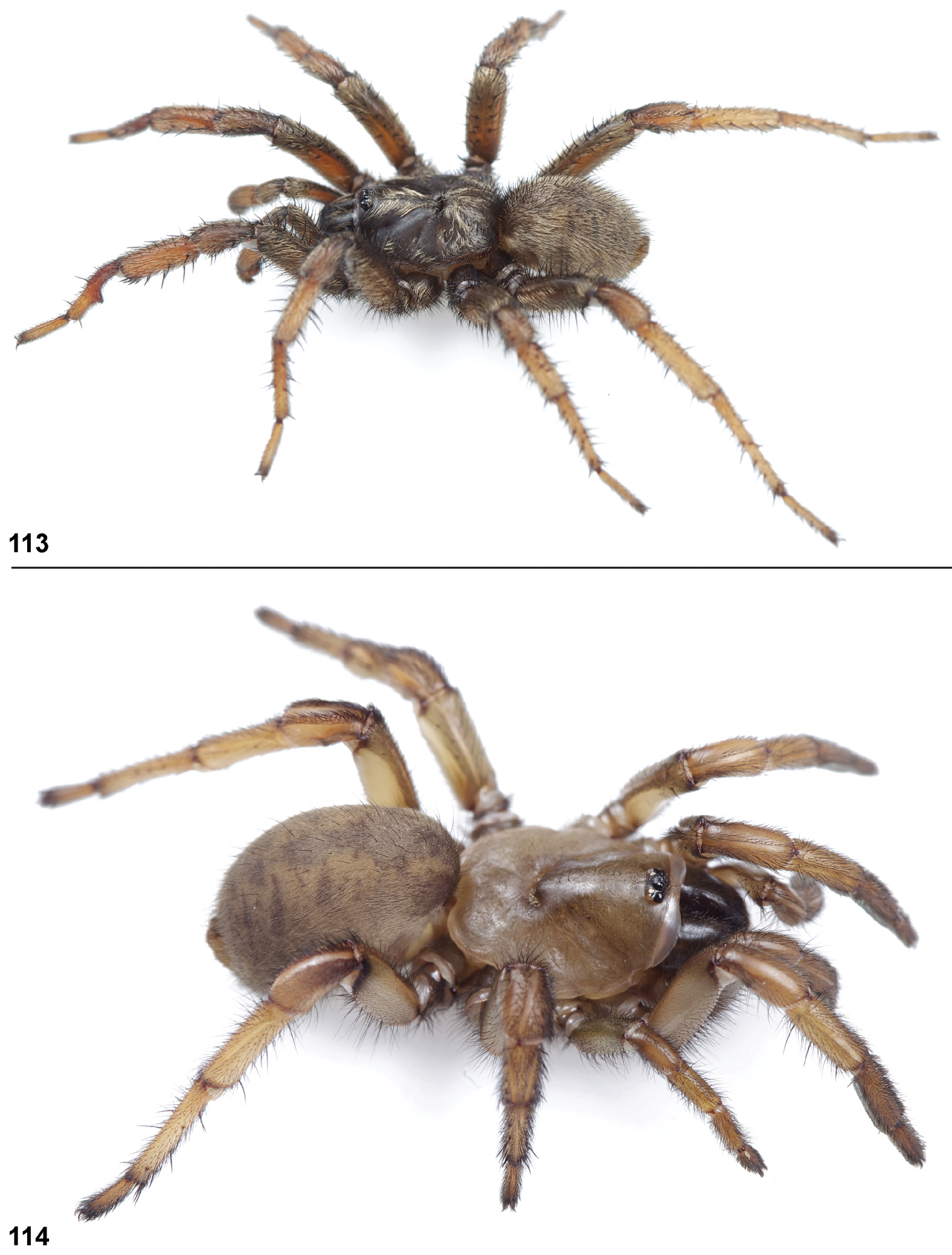 Phylogenetic Treatment And Taxonomic Revision Of The Trapdoor Spider