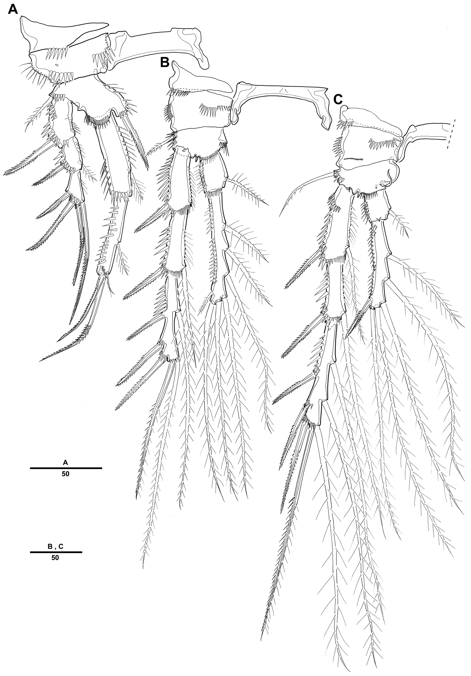 A New Genus Of Cletopsyllidae Copepoda Harpacticoida From Gulf 1998 Dodge Ram Fuel Filter Location Mexico