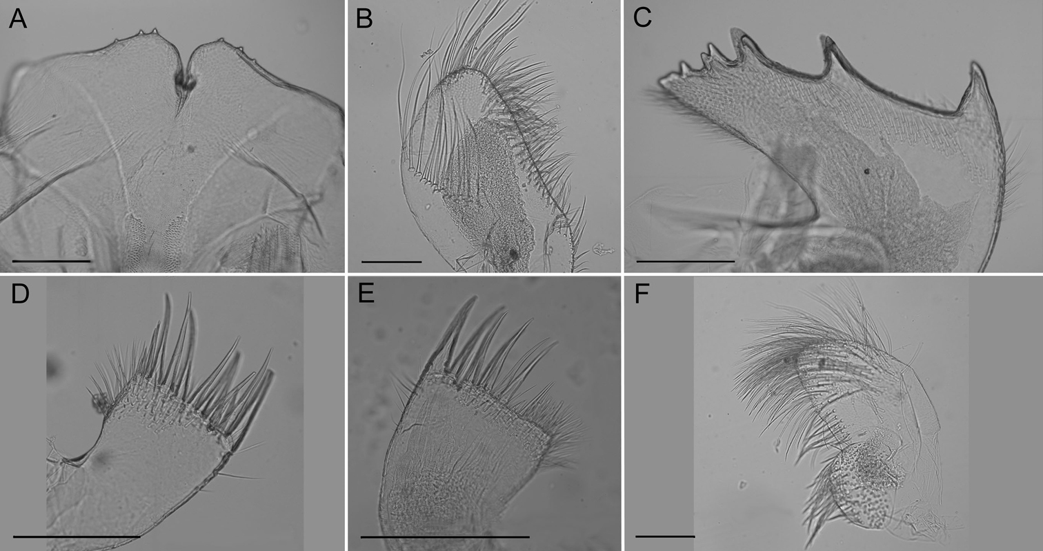 Two new species of the gorgonian inhabiting barnacle, Conopea ...